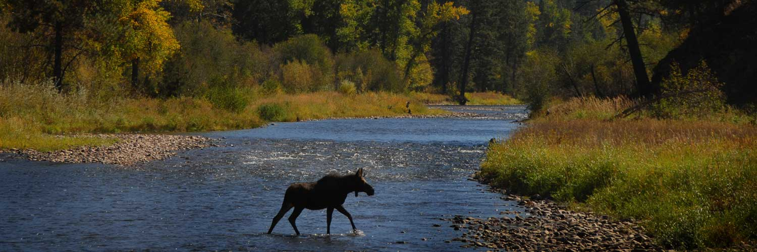 Moose Crossing Rock Creek in Montana