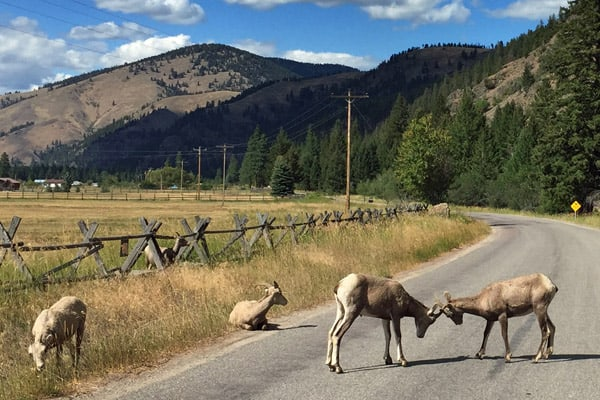 Bighorn sheep babies spar on Rock Creek Road in Montana