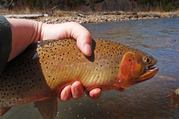 Cutthroat Trout in April on Rock Creek