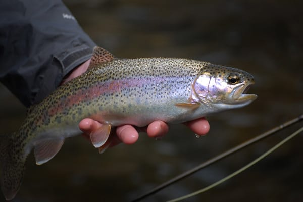 Rock Creek Rainbow Trout