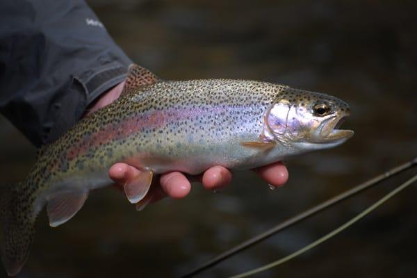 Cutthroat Trout in April on Rock Creek