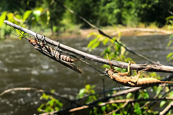 Salmonfly Hatching on a branch by the river