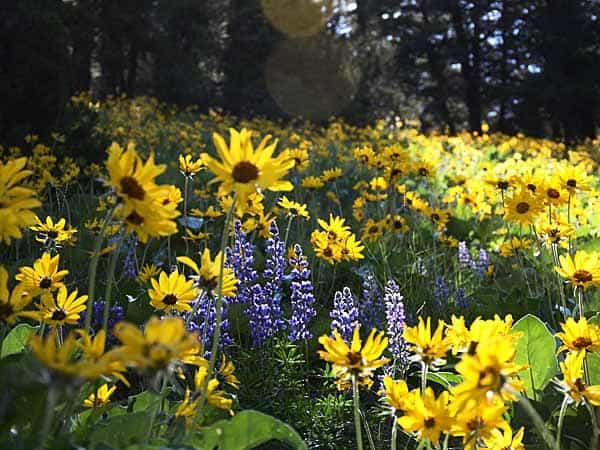 Arrowleaf Balsamroot Wildflowers on Trail 10