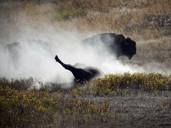 Bison Range Back Scratch