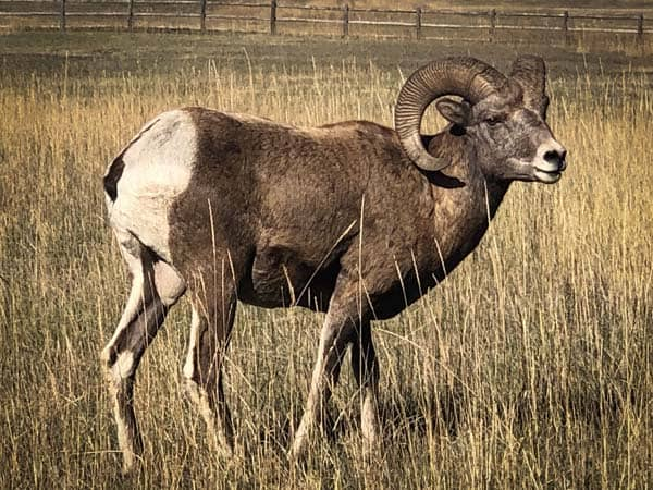 Large Bighorn Ram near Rock Creek